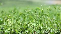 The tea plantations Stock Footage
