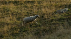 A sheep wandering loner in the mountain pasture. Stock Footage