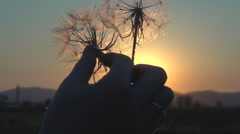 Girl hand pull dandelion seed make wish sunset sunrise sun silhouette orange day Stock Footage