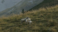 Two sheep and a lamb meet in a mountain prairie. Stock Footage