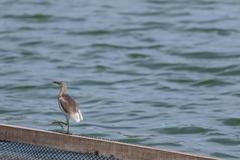 Stock Photo of Javan Pond-Heron