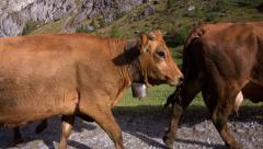 Herd of cows walking on a path Stock Footage