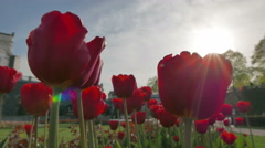 Red tulips near the Cathedral of Christ the Savior in Moscow. Stock Footage
