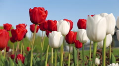 Red and white tulips against the blue sky. - stock footage