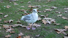 Close up of sea gull finding food on the ground - stock footage
