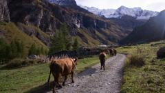 Herd of cows walking in the Alps Stock Footage