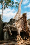 Tree sitting on stone wall at Angkor Wat - stock photo