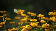 Butterfly on yellow flowers Stock Footage