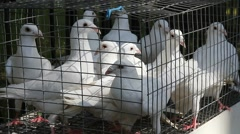 Beautiful White pigeons in a small cage. Stock Footage