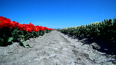 Tulip fields in Netherlands Holland springtime Stock Footage