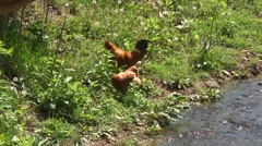 Chicks by the creek Stock Footage