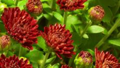 Stock Video Footage of Red Chrysanthemum Flower Time-lapse