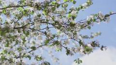 Blossom apple tree Stock Footage