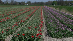 Tulip fields in Netherlands Stock Footage