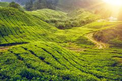 Tea plantation in Malaysia - stock photo