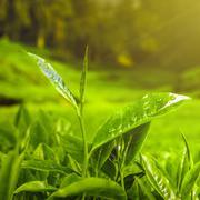 Green Tea leaves Stock Photos