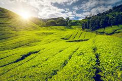 Tea plantation in Malaysia - stock photo