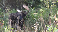 Bull Moose in Fall Stock Footage