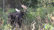 Stock Video Footage of Bull Moose in Fall