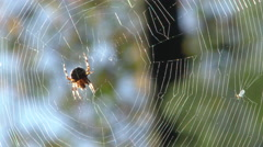 Garden Spider on Web Stock Footage