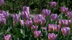 Tulip fields in Netherlands Stock Footage