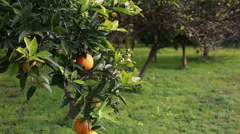 Oranges in the orange grove - stock footage