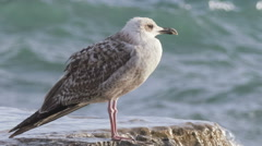 Seagull on the breakwater Stock Footage