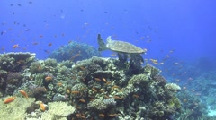 Hawksbill sea turtle above colorful corals Stock Footage
