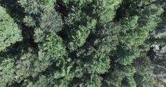 Stock Video Footage of over a pine forest, aerial shot