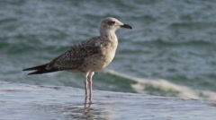 Seagull on the breakwater - stock footage