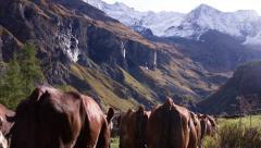 Herd of cows is walking on a path in the Alps Stock Footage