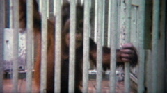 1973: Baby orangutan separated from mother behind thick steel bars. Stock Footage