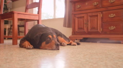 A big dog laying on a dining room floor and then getting up and walking away Stock Footage