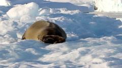 Weddell Seal on an Iceberg Stock Footage