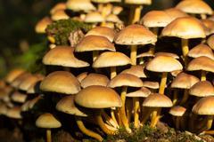 honey agaric on a stump - stock photo