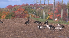 Geese in autumn with fall colors getting ready for migration south Stock Footage