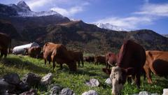 Herd of cows in an alpine meadow - stock footage