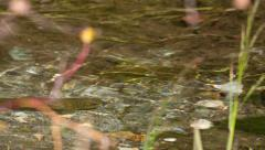 Brown trout in a brook Stock Footage