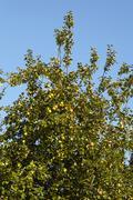 Apple tree at autumn Stock Photos