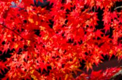 Blur background of colorful Autumn Leaf Season in Japan Stock Photos
