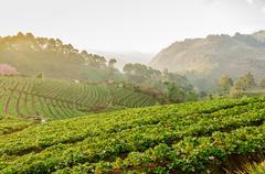 Stock Photo of Strawberry farm at Doi Angkhang, Chiangmai, Thailand