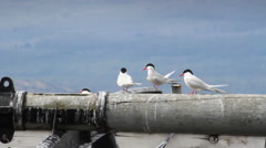 Southern terns on a boat Stock Footage