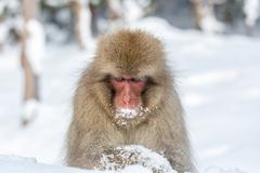 Snow Monkey Macaque - stock photo