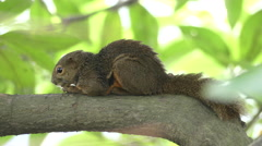 Squirrel Snoozing Stock Footage