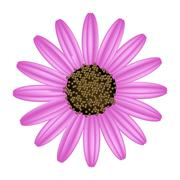 Pink Daisy Flower on A White Background - stock illustration