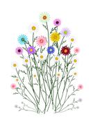 Assorted Daisy Blossoms on A White Background - stock illustration