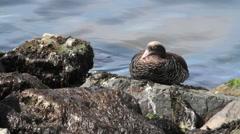 Kelp Goose the beach of Antarctica - stock footage