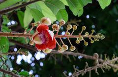 Sala' s Buddhism flower or Cannonball flower. - stock photo
