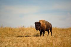 Stock Photo of American Bison Buffalo on an Urban Wildlife Preserve