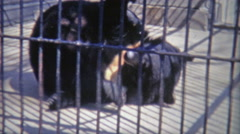 1973: Bear rolling around in small inhumane cage. Stock Footage